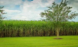 Thumb_sugarcane-439880_1920